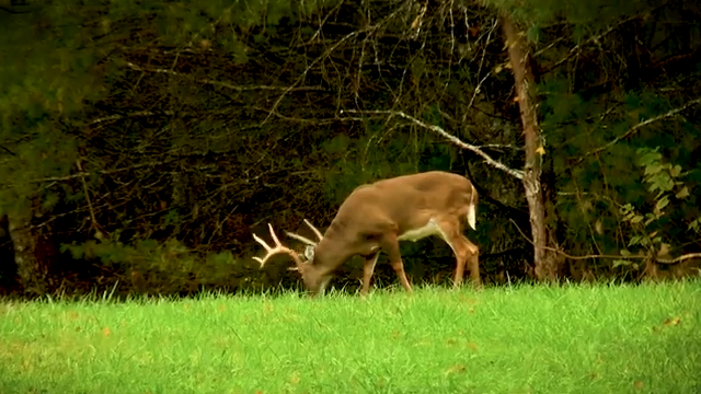 Buck grazing on hunting land for sale